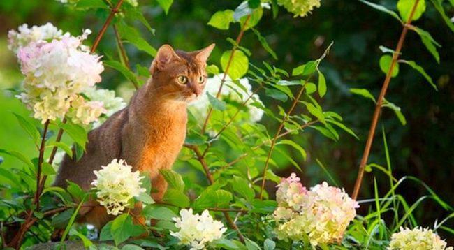 Предполагают, что египетские кошки, чьи фигурки можно купить во время турпоездок в страну фараонов, и есть абиссинская кошка
