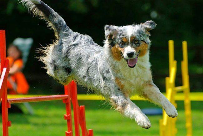 Участие в соревнованиях могут принимать любые породы собак, для аджилити можно привести даже беспородного Бобика. Главное здесь – идеальный симбиоз хэндлера со своим питомцем