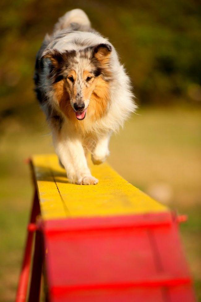 Хорошо, если занятия аджилити для собак начинаются, когда песику исполнится 4-6 месяцев – это идеальный возраст для начала дрессировок