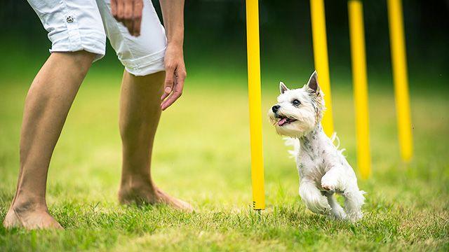 Хэндлер имеет право командовать своим псом только на расстоянии. Хозяину нельзя поощрять своего питомца вкусняшками или чем-то еще. Дотрагиваться до собаки тоже нельзя, даже ошейник надо снять