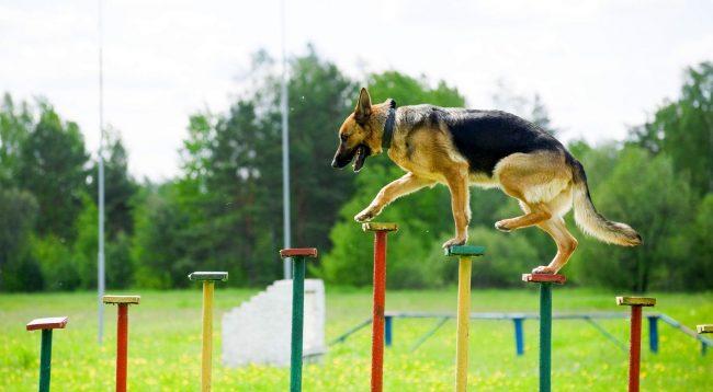 Соревнования по аджилити для собак разделено на три категории: мини, миди и стандарт - в зависимости от размеров участников