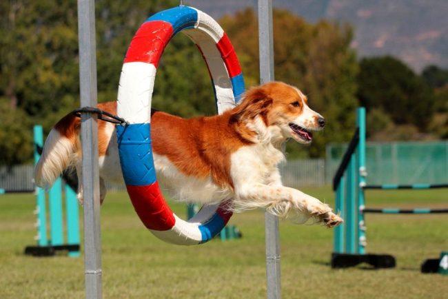 Аджилити для собак - это преобразовавшийся лошадиный конкур