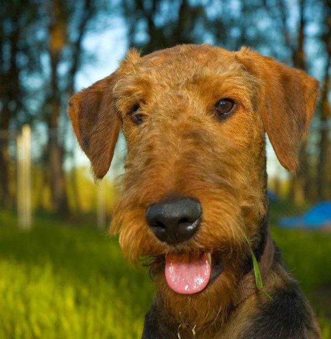 Собака эрдельтерьер требует длительные прогулки с активными играми. Рекомендуется выгуливать их не реже 2-3 раз в день. Важно, чтобы во время прогулок хозяин давал как физические, так и интеллектуальные задания