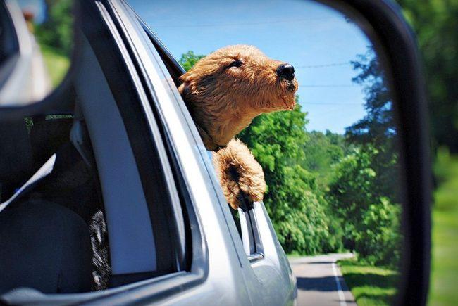 Эрдельтерьер любит прокатиться с ветерком