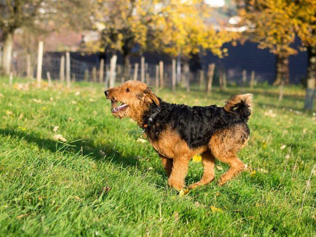 Несмотря на эмоциональность, собака эрдельтерьер отлично уживается в доме, никогда не проявляет беспричинных вспышек агрессии. Этот питомец будет верным другом, сосредоточенным защитником и внимательным охранником, он сможет прекрасно адаптироваться практически к любым условиям