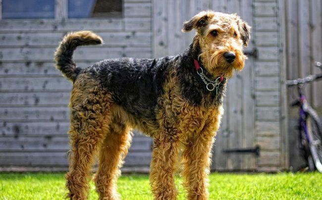 Эрдельтерьер – это темпераментная, энергичная собака, которая знает себе цену и имеет чувство собственного достоинства. В ней соединились все преимущества охотничьих собак и собак-охранников