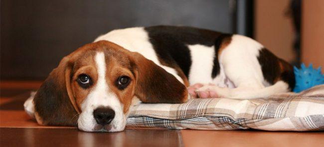 Часто причиной аллергии у собак может быть неправильное питание