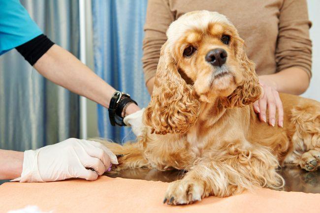 Поскольку аллергия является «поломкой» иммунной системы, в качестве профилактики ветеринар может назначить иммуностимуляторы, изменить режим питания и отрегулировать физические нагрузки собаки