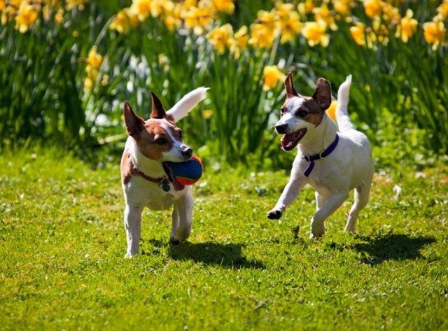 Ошейник от клещей для собак рекомендуют носить постоянно, даже ночью. Иначе не будет достигнут необходимый эффект