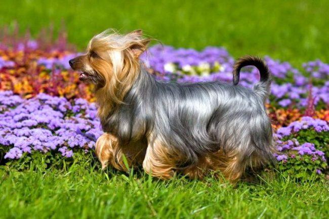 Маленькие собачки тоже могут помогать своим хозяевам, так австралийский шелковистый терьер - это отличный охранник