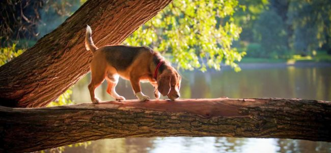 Гончая порода собак бигль отличается веселым нравом, они преданны и чистоплотны. При этом являются непревзойденными охотниками на пернатую дичь, мелкого зверя и даже рыбу