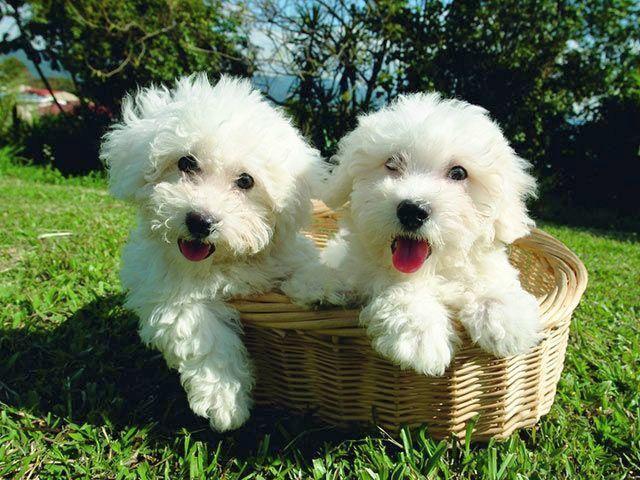 Самая дешевая собака из этого списка - Бишон фризе, стоимостью от 500 до 1,5 тыс. дол.