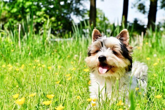 Бивер йоркширский терьер - это очень ласковые и миролюбивые собаки-компаньоны, стоимость которых колеблется от 600 до 2,5 тыс. дол.