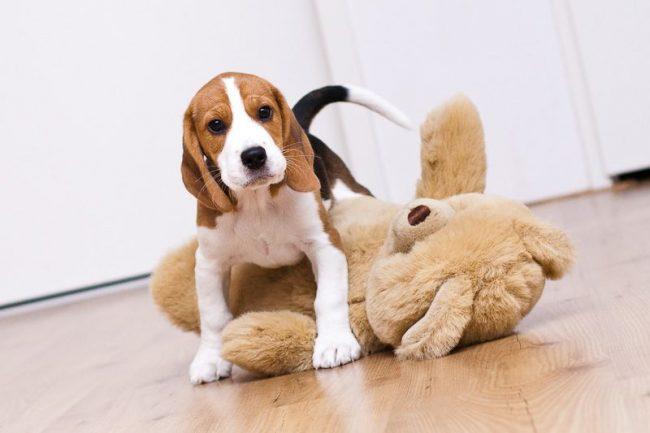 У щенка бигль, как и у любого ребенка, должны быть любимые игрушки