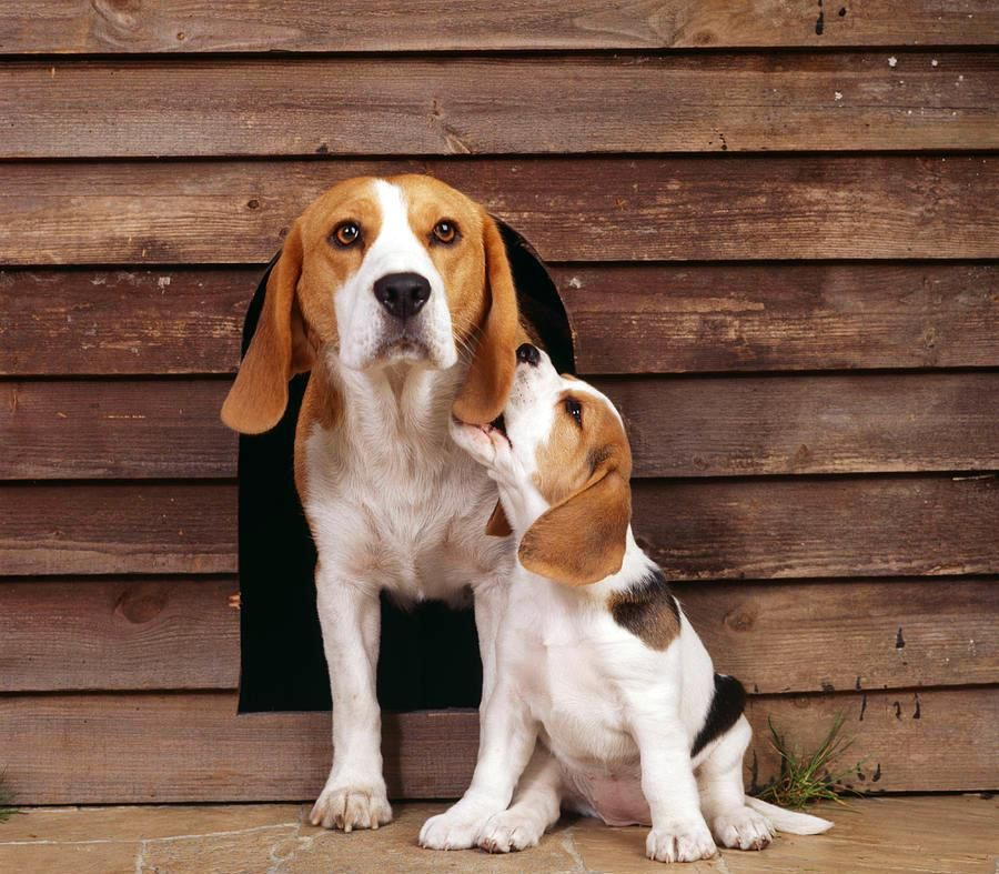 фото бигля щенка и взрослого