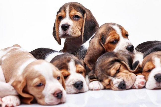 Бигль щенки - славные малыши с мокрыми носиками