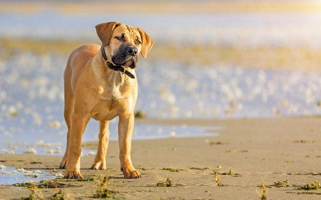 Рожденный под жарким солнцем Черного Континента, бурбуль соединил в себе генетические признаки фермерских собак Голландии и беспримерную отвагу, и силу боевых псов древних ассирийцев. Из такой гремучей смеси и появилось мощное, с высоким интеллектом и гордым нравом, животное, готовое любой ценой защитить своего хозяина