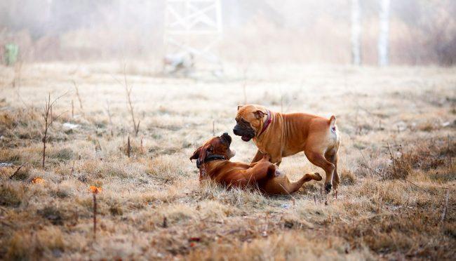 Несмотря на внешнюю силу и массивность, бурбуль в душе - добрая и игривая собака
