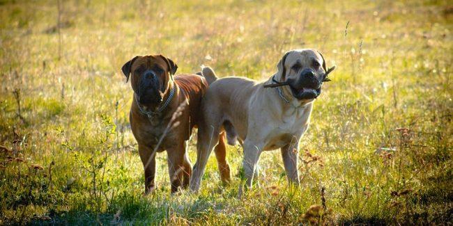 Бурбуль нуждается в ежедневных активных прогулках. Пес полон энергии, которую ему нужно ежедневно выплескивать