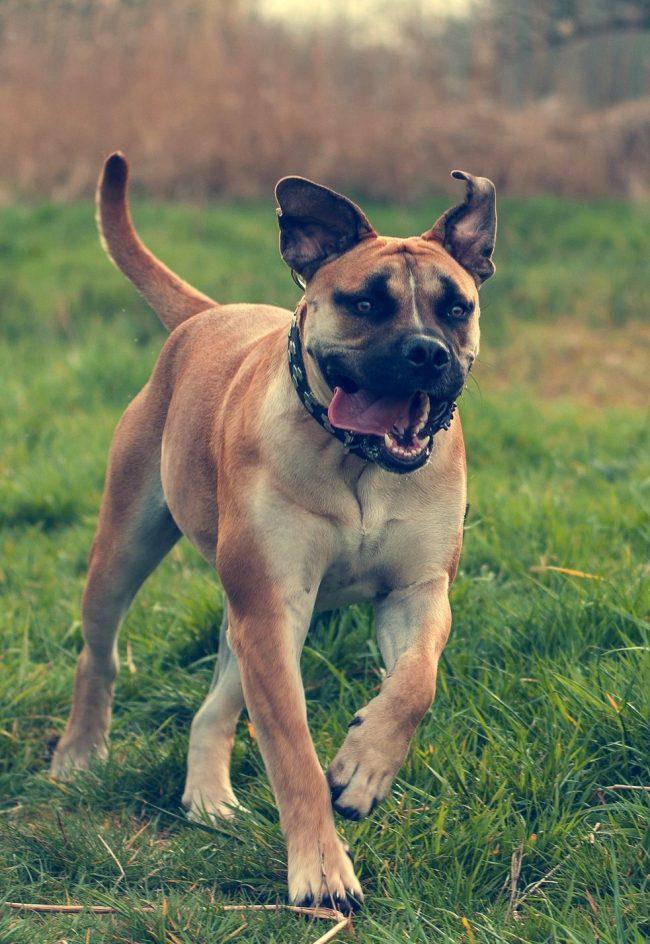 Бурбуль - крепкая и выносливая собака, но следить за здоровьем пса все равно нужно