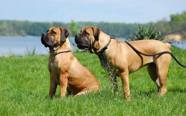 Бурбуль применяется как охранная собака, наделенная отличными защитными качествами. Природная физическая сила, помноженная на высочайший интеллект, позволяют доверять бурбулям и охрану дома, и людей