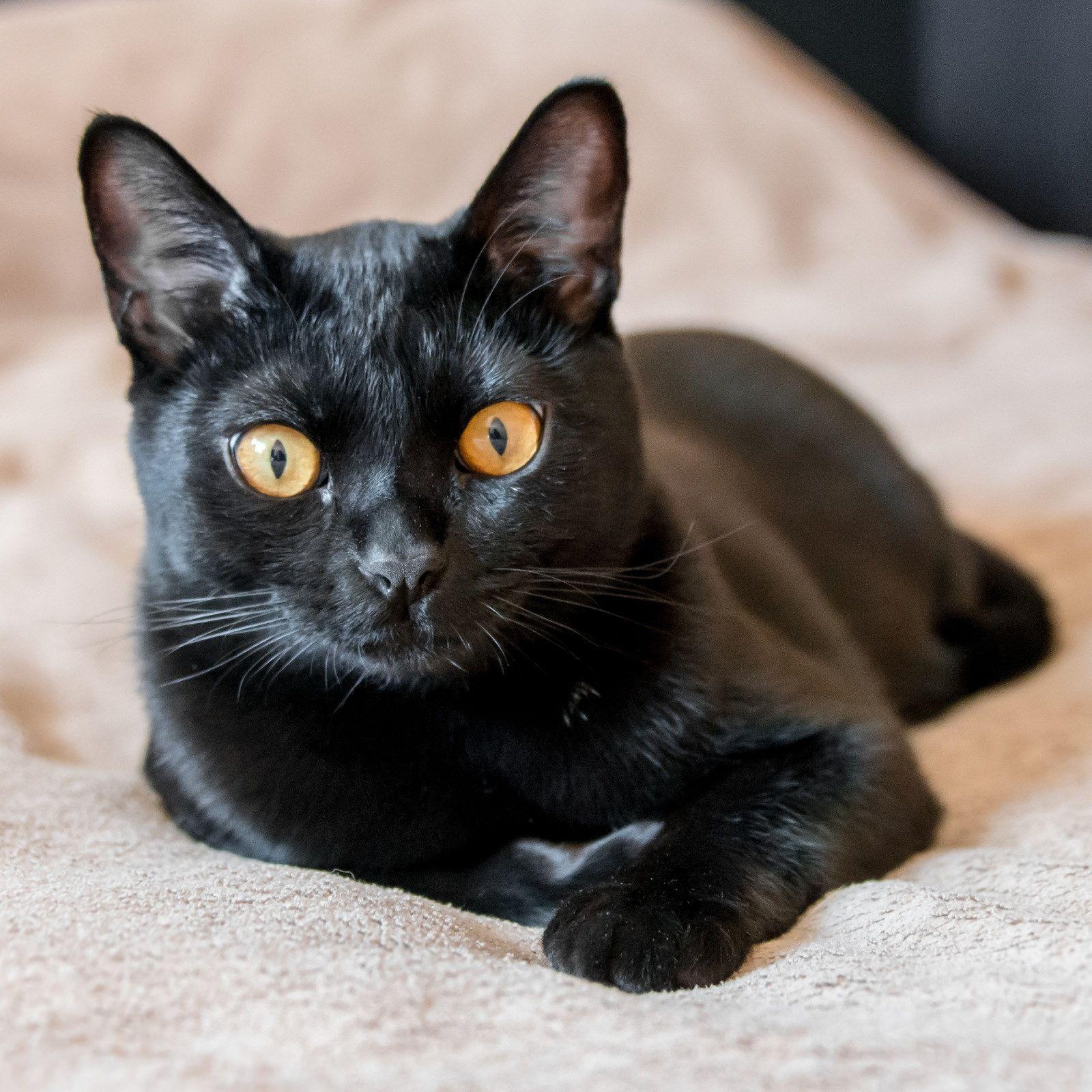 фотографии бомбейской кошки