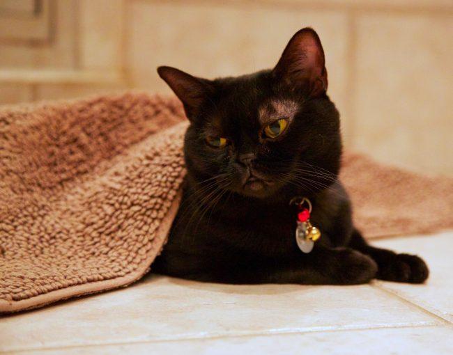 Бомьейская кошка станет для вас преданным другом и отрадой