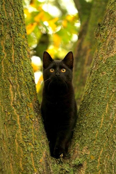 Бомбейская кошка умна, быстро запоминает несложные команды и не выходит за рамки, которые для нее очертил хозяин