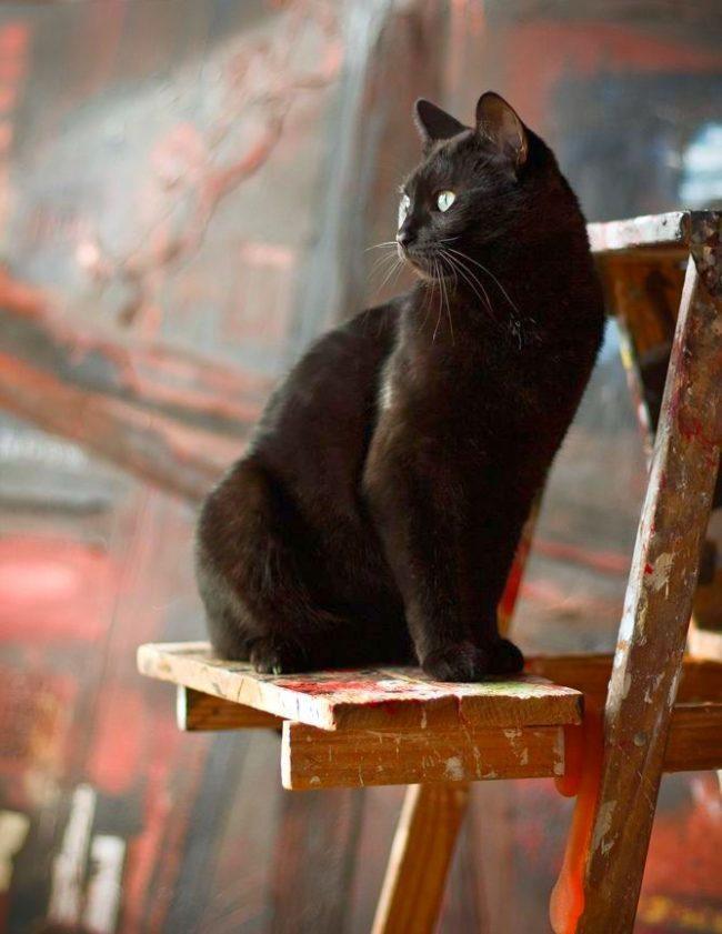 Бомбейска кошка - художник