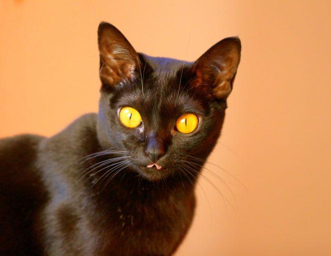 Бомбейская кошка - спокойна и бесконфликтна. Она может мирно сосуществовать в одном доме с другим котам и собакам. Причем с собаками бомбеи быстрее найдут общий язык, чем с котами – проявятся черты лидера, что приведет к конфликту между кошачьими