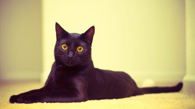 Бомбейская кошка умеет находить общий «язык» со всеми членами семьи, к тому же ее несложно выдрессировать. Если проявить терпение и мягкость, кошечка быстро привыкнет к выдвинутым вами правилам и будет неукоснительно их соблюдать, поскольку огорчать хозяев она не станет