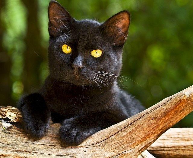 Бомбейская кошка отличается большой преданностью своему хозяину, ей важно все время быть рядом. Даже если он занят, кошка останется около него, не напрягая своим присутствием