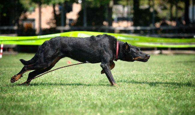 Собаку необходимо выгуливать не меньше часа, с возможностью длительных пробежек по пересеченной местности. Степенные прогулки по аллеям парка не для этого красавца, ему нужно выплескивать свою энергию по полной, чтобы получать и моральную, и физическую пользу