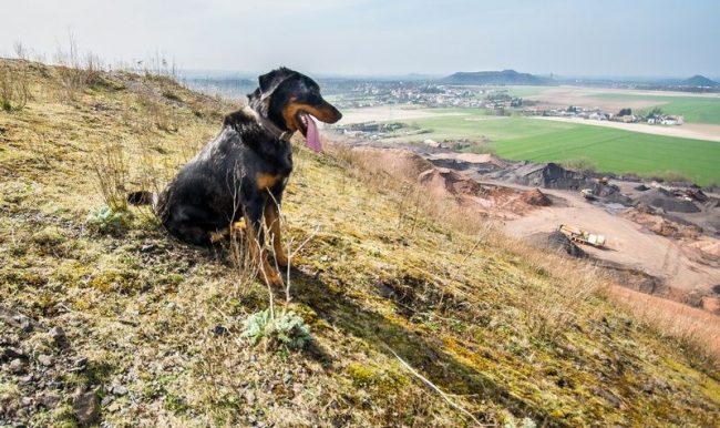 По прямому предназначению босерон относится к пастушьим собакам, но в городских условиях может стать всеобщим семейным любимцем и отличным компаньоном по путешествию или долгим прогулкам на природе. Хорошо подходит для тех, кто любит туризм, активный отдых и живет загородом