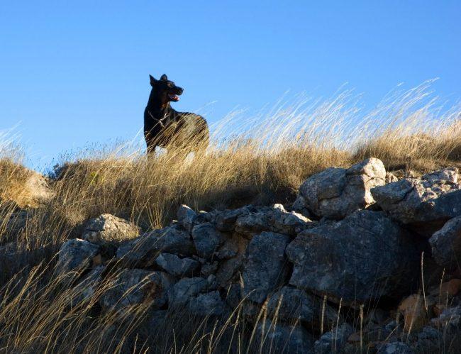 Босерон привык к диким условиям и очень любит находится на природе
