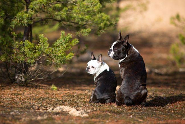 У этих милых животных короткая шерсть, от неё практически нет запаха, линьку почти не видно, поэтому проблем в таких вопросах с бостон-терьерами не бывает
