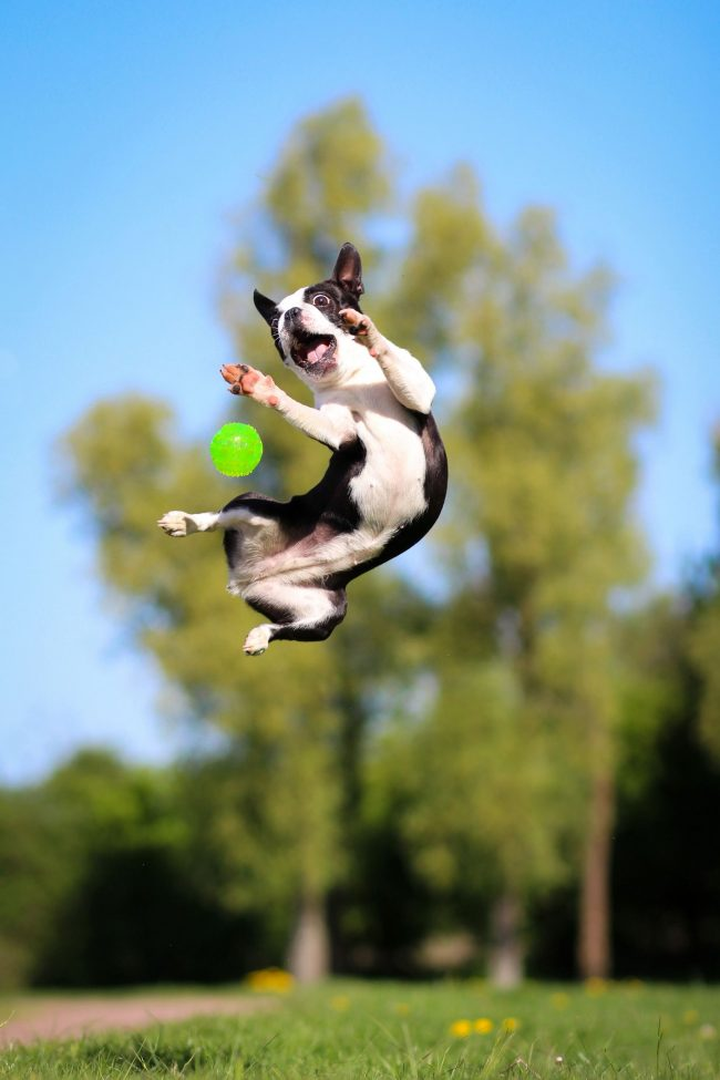 Бостон-терьер - очень прыгучая собака. Этому песику никак не сидится на месте