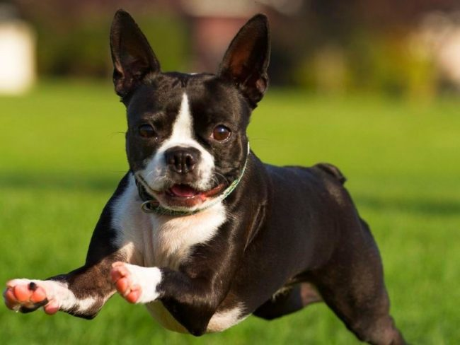Бостон-терьер, пожалуй, самый позитивный пес
