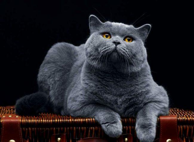 Британский кошки - это короткошерстные гиганты. К тому же, эти они склонны к набору лишнего веса