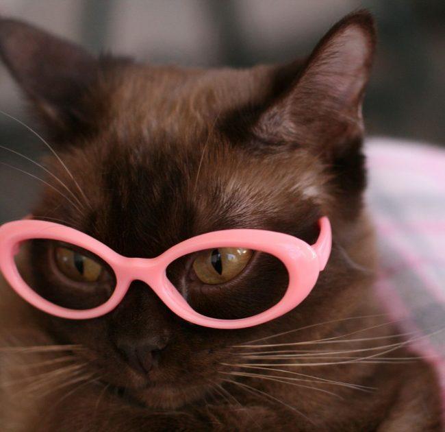 Бурманская кошка-профессор
