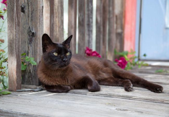 Бурманские кошки привыкли всегда высказывать свое мнение, поэтому вы будете часто слышать их голос