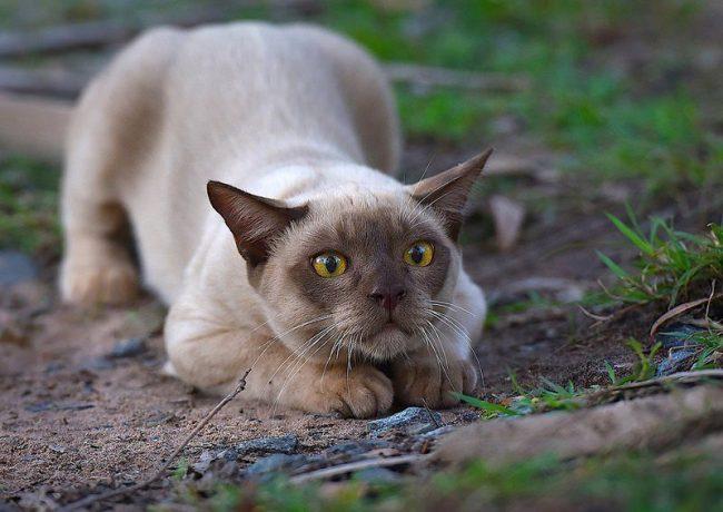 Отличительной особенностью бурманской кошки являются янтарно-медовые глаза