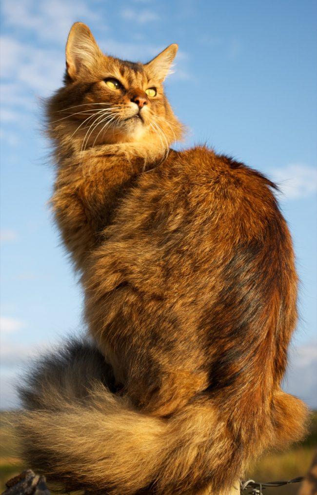 Сомалийская кошка очень любит гулять. Ей одинаково нравится как солнечная, так и пасмурная погода