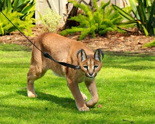 Кошачья сущность каракала требует контроля – выгул необходимо производить, держа животное на поводке
