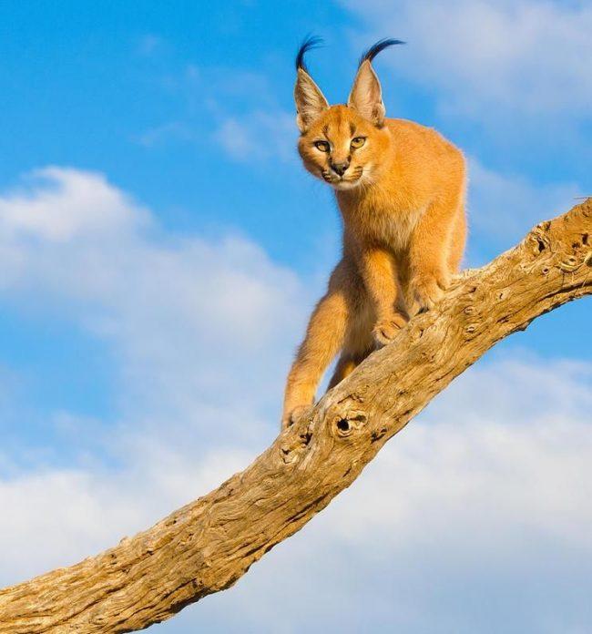 Никогда не стоит забывать, что каракал - это хищник. Конечно, рожденный в домашних условиях и хорошо воспитанный кот не представляет угрозы человеку. Но лучше не проверять его характер