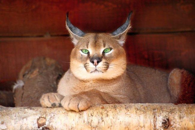 Тем не менее, домашний каракал по степени мягкости характера уверенно может конкурировать с некоторыми породами вполне домашних кошек
