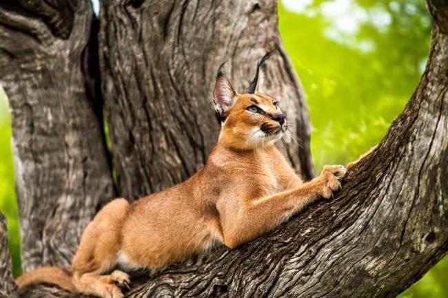 Каракал - это одомашненная рысь, которую все чаще и чаще предпочитают заводить в качестве экзотического домашнего животного