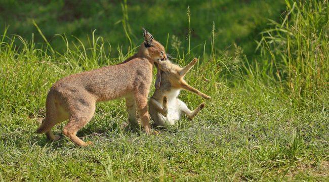 Каракал - настоящий охотник