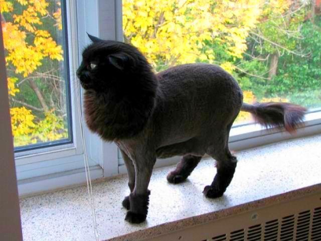 Наиболее распространенный вид кошачьей стрижки - под льва