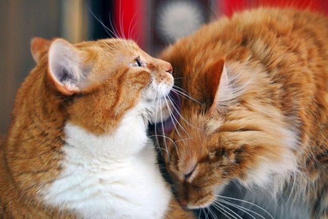 Во время ежедневного облизывания кошки съедают много своей шерсти, что может навредить их пищеварению. Чтобы избежать проблем, необходима регулярная стрижка котов
